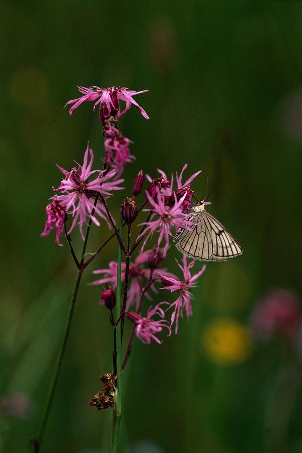 fotografie - Léto dekorované křídly I