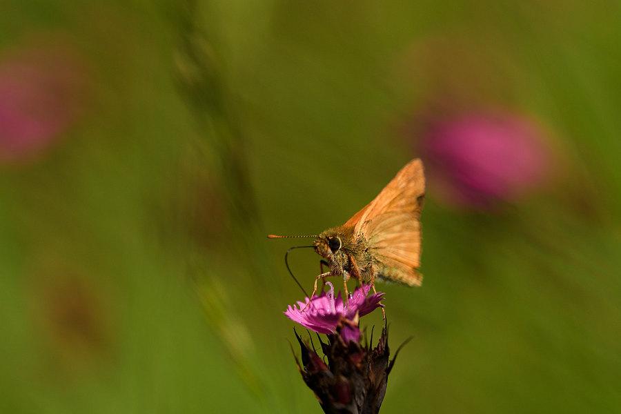 fotografie - Něžné léto motýlí I