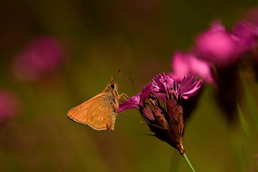 fotografie - Něžné léto motýlí II