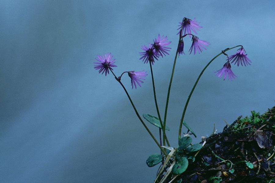 fotografie - Něžná od horského potoka II