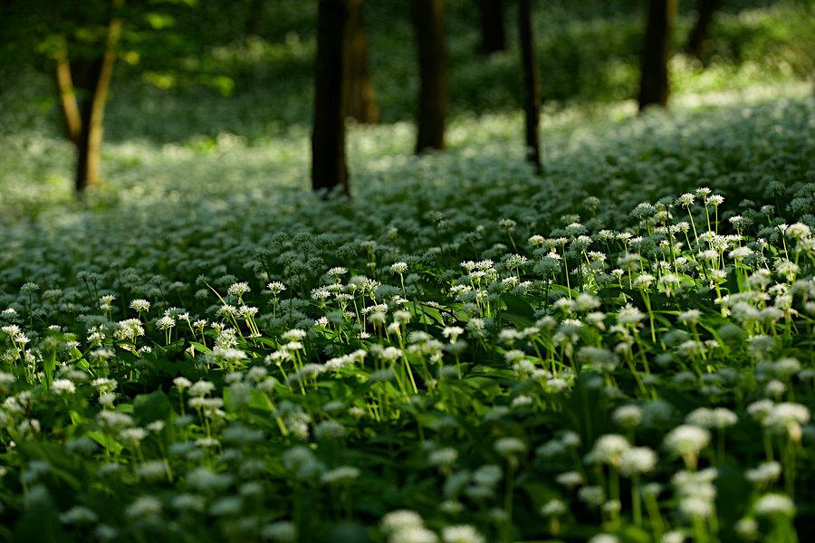 fotografie - Vůně lesních prostor I