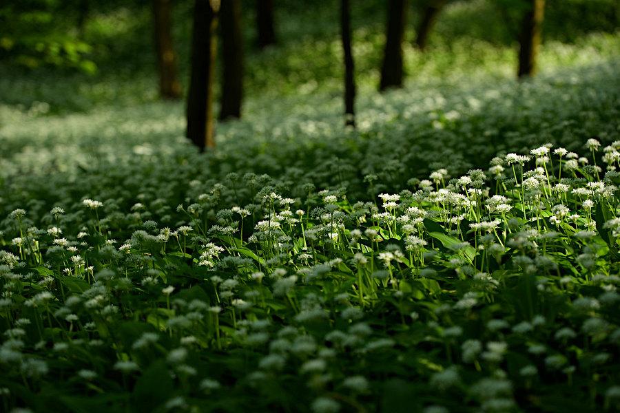 fotografie - Vůně lesních prostor II