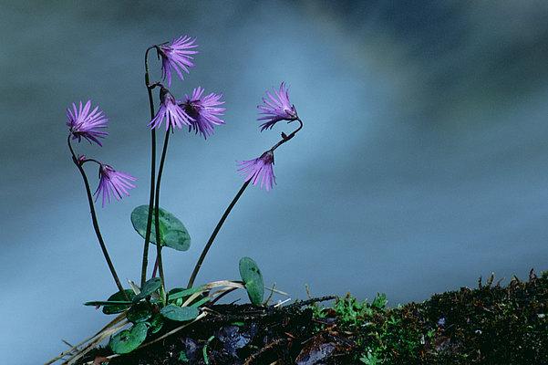 fotografie - Něžná od horského potoka I