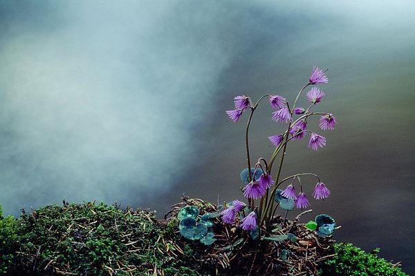 fotografie - Něžná od horského potoka IV