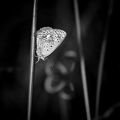 fotografie - Duet motýlích klenotů